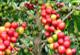 Pestovanie kávy a jej druhy